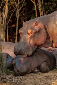 adorable hippo cuddling her baby
