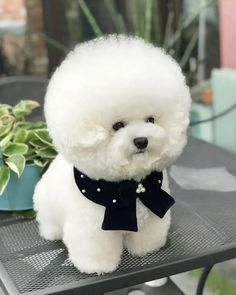 Probably get a bichon 😍A beautiful cotton ball Like puppies, bunnies, babies, and so on. Cute Baby Dogs, Cute Dogs And Puppies, Cute Baby Animals, Animals And Pets, Funny Animals, Puppies Gif, Doggies, Bichon Dog, Bichon Frise