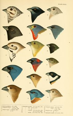 Wellcome Collection publishes book of early infographics, charts and diagrams for organising nature History-of-north-american-birds-xxix-plate_biodiversity-heritage-library Vogel Illustration, Science Illustration, Nature Illustration, Vintage Bird Illustration, Nature Prints, Art Prints, Vintage Birds, Botanical Art, Botanical Drawings