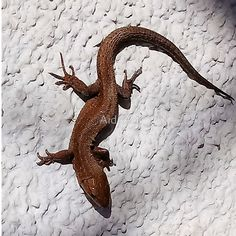 lizard 157