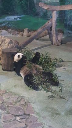 Panda Bear, Travel, Animals, Viajes, Animales, Animaux, Panda, Destinations, Animal