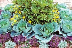 Social cachet may not be among them, but cabbage cultivation offers multiple advantages: The plant is productive, nutritious, visually appealing and easy to grow. Originally published as