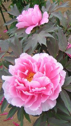 Peony. Wow, this looks exactly like chinese paintings!