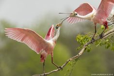 Roseate Spoonbills clattering bills at High Island, Smith Oaks Rookery, Texas