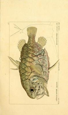 Monocentris carinata. schn., Histoire naturelle des poissons, 1828-1849, Biodiversity Heritage Library