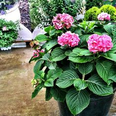 love this image of Hydrangeas at Spring Meadow nursery.