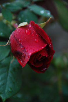 """""""Rose After Rain"""" ~ photo by Paul Lawston on Flickr"""
