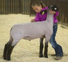 Breanne Faris, 8, makes adjustments to her lamb, Champ, during the judging of the heavyweight division of the Pueblo County Fair sheep show Wednesday at the state fairgrounds. Champ was selected as division winner and moved on to the grand champion show. Chieftain photo by Bryan Kelsen (July 2012)
