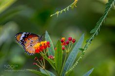 Butterfly on a flower. by johngreene1. @go4fotos