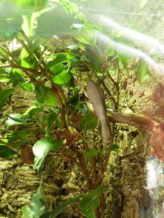 Asian Giant Mantis