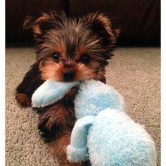 The Popular Pet and Lap Dog: Yorkshire Terrier - Champion Dogs Super Cute Puppies, Baby Animals Super Cute, Cute Baby Dogs, Cute Little Puppies, Cute Dogs And Puppies, Cute Little Animals, Cute Funny Animals, Puppies Puppies, Cutest Dogs