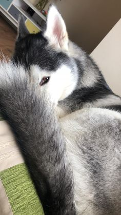 Wonderful All About The Siberian Husky Ideas. Prodigious All About The Siberian Husky Ideas. Husky Malamute, Husky Corgi, Siberian Husky Puppies, Siberian Huskies, Huskies Puppies, Husky Mix, Pomeranian Puppy, Alaskan Husky, Alaskan Malamute