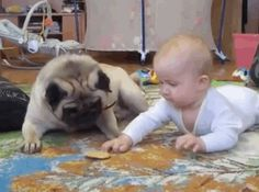 Pug stops baby choking on cornchip! Only does this with crunchy or hard food.. . .