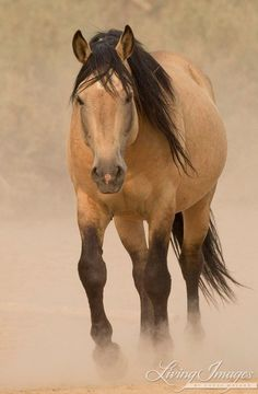 The wild stallion Bugs walks slowly out of the dust stirred up by the other stallions in at the waterhole in the Sand Wash Basin Herd Area in Colorado.
