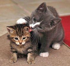 "* * MOM CAT: "" If yoo don'ts groom rightz; I haz to take overs."" KITTEN: "" Jeez, she'z bein' Gestapo Mom todays."""
