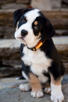Quincy an english bulldog and greater swiss mountain dog mix.  Sweetest puppy dog face ever!  | Dogs | Puppies| Pet Photography | Kelly Patterson Photography | Flickr   Mixed Breed | Mutt | Puppy