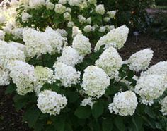 H. Paniculata Silver Dollar Hydrangea......dense trusses of creamy white flowers that become pinker as they age.