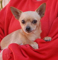 Brady is a tiny boy found abandoned on a big sports field with no sign of responsible ownership.  He is a humble, young Chihuahua, 2 years of age, neutered, and debuting for adoption today at Nevada SPCA (www.nevadaspca.org).  Brady loves other dogs and gentle people.  He cannot comprehend what happened to him, or why, but he is very grateful for all kindness.