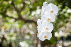 White Orchid Photos White Orchid in nature garden by telnyaw
