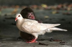 This monkey trying to comfort this pigeon after he got his first speeding ticket.