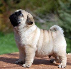 Fluffy lil pug