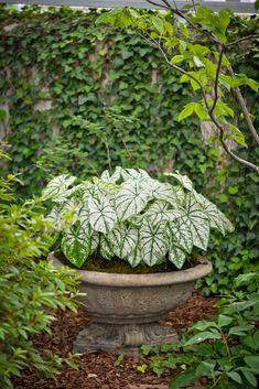 Hosta in planter