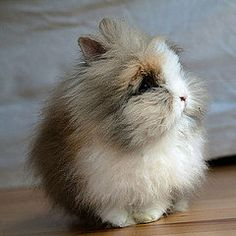 The only thing cuter than a lionhead bunny is nothing.