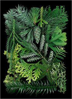 a tree that bears cones and samples of the conifer ~ which have green, needlelike or scalelike leaves. Conifers are of major importance as the source of softwood, and also supply resins and turpentine.