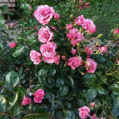 Rose Garden #Roses #Rose #Rosengarten #Rosegarden #Cologne #Köln...