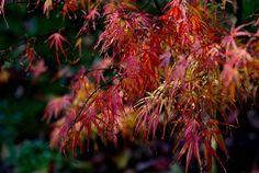 acer-palmatum-atrolineare-en-octobre