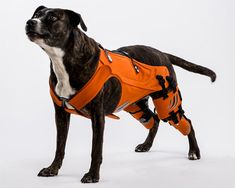 cuz i love me a pouch   galia weiss's hipster harness rehabilitates dogs with hip dysplasia DESIGN  the device pulls up and strengthens the hip muscles to keep the femur in position, improving any canine's