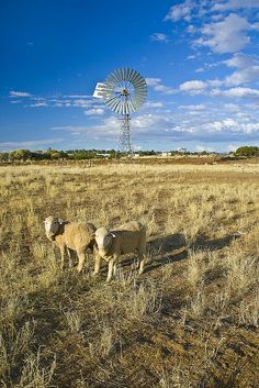 Sheep and Windmill, Queensland, Australia. Photo: Wayfaring Stranger, via… Tasmania, Australian Photography, Old Windmills, Land Of Oz, Sheep Farm, Out Of Africa, Photos, Pictures, Farm Animals
