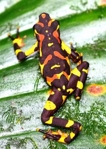 Finding a specific species of tree frog in the rainforest can be difficult at the best of times, even if the species is considered to be common; sometimes you just have to be in the right place at …