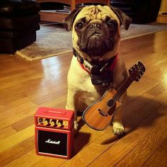 "🎸 ""We're getting the band back together."" 🎸  🐾 www.jointhepugs.com 🐾…"