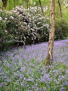 Silver birch, bluebells, rhodedendrum Landscaping With Rocks, Garden Landscaping, Garden Inspiration, Garden Ideas, Outdoor Spaces, Outdoor Living, Out Of The Woods, Low Maintenance Garden, Garden Landscape Design