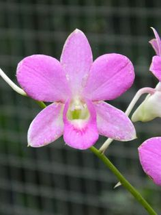 Cooktown orchid Dendrobium bigibbum  at Orchid World Barbados by garden muses-not another Toronto gardening blog