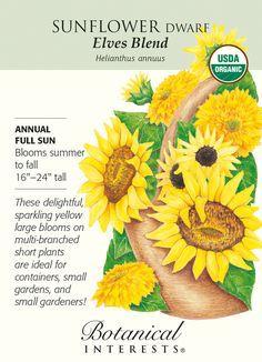 Peter's Garden Site – Gardening over 12 months Types Of Sunflowers, Planting Sunflowers, Sunflowers And Daisies, Sun Flowers, Growing Sunflowers, Small Sunflower, Sunflower Garden, Sunflower Seeds, Sunflower Types