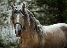 A Finnish Horse, stallion All The Pretty Horses, Exotic, Creatures, Horse Stuff, Spirit, Birds, Animals, God, Dios
