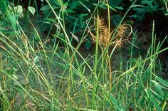 Nutsedge  Nutsedge (also called nutgrass) is another common problem. The grasslike plants form underground tubers called nutlets. Persistence, early intervention and an integrated management strategy are critical for control of these weeds.