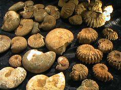 Google Afbeeldingen resultaat voor http://www.hidden-earth.co.uk/images/fossils/ammonites/01_00015.JPG
