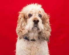 Check out Herman's profile on AllPaws.com and help him get adopted! Herman is an adorable Dog that needs a new home. https://www.allpaws.com/adopt-a-dog/cocker-spaniel/5956892?social_ref=pinterest