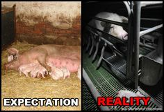 Factory Farm Pigs | Expectation vs. Reality: Factory Farms | Blog | peta2.com