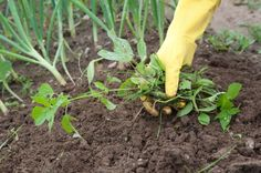 Organic Weed Control: Cultural and Mechanical Methods