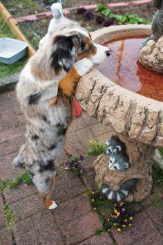 miniature australian shepherd. blue merle. bear. 4 months. puppy. dog.