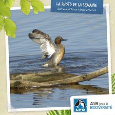 Hugo, 12 ans, ornithologue en herbe, vous présente la Sarcelle d'hiver qu'il a eu l'occasion d'observer lors d'une excursion naturaliste avec sa maman sur le site de la Réserve ornithologique du Teich au printemps. Profitez des beaux jours de l'été pour partir vous aussi à la découverte de la faune et de la flore ! Plus d'infos : http://www.lpo.fr/actualites/empruntez-les-chemins-buissonniers-avec-la-lpo Sarcelle d'hiver (Anas crecca) © Hugo André