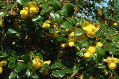 Épine-vinette verruqueuse  Le Berberis verruculosa (Épine-vinette verruqueuse) est un Berbéris à croissance lente qui reste vert en hiver. En automne, certaines feuilles de cette espèce deviennent rouges, ce qui produit un bel effet.