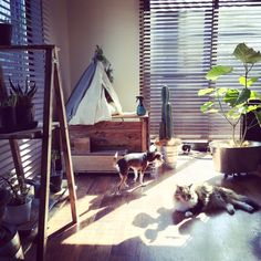 katsuwobushiさんの、リビング,ダイソー,グリーン,DIY,いぬ,多肉植物,シンプル,ウッドブラインド,ねこのいる風景,ティピーテント,ラダーシェルフ,ね…