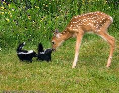 Deer and some baby skunks. It's Flower and Bambi Cute Baby Animals, Animals And Pets, Funny Animals, Cute Small Animals, Kids Animals, Colorful Animals, Beautiful Creatures, Animals Beautiful, Beautiful Cats