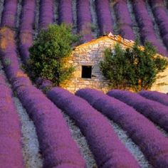 lavender dreams --- A beautiful French field!