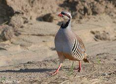 Alectoris chukar/Chukar Partridge/イワシャコ*イラク・パキスタンの国鳥